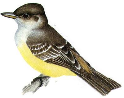 flycatcher birds