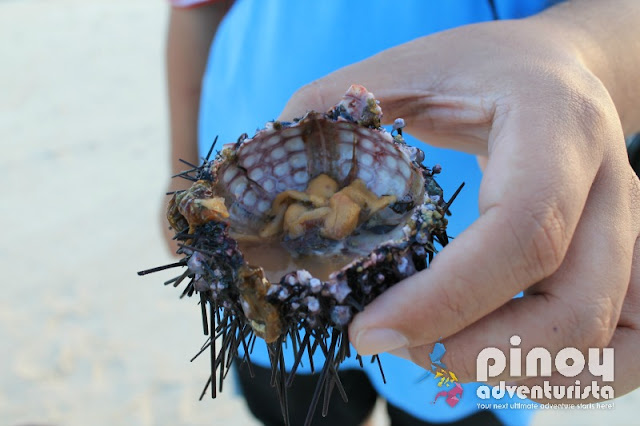 sea urchin from camiguin