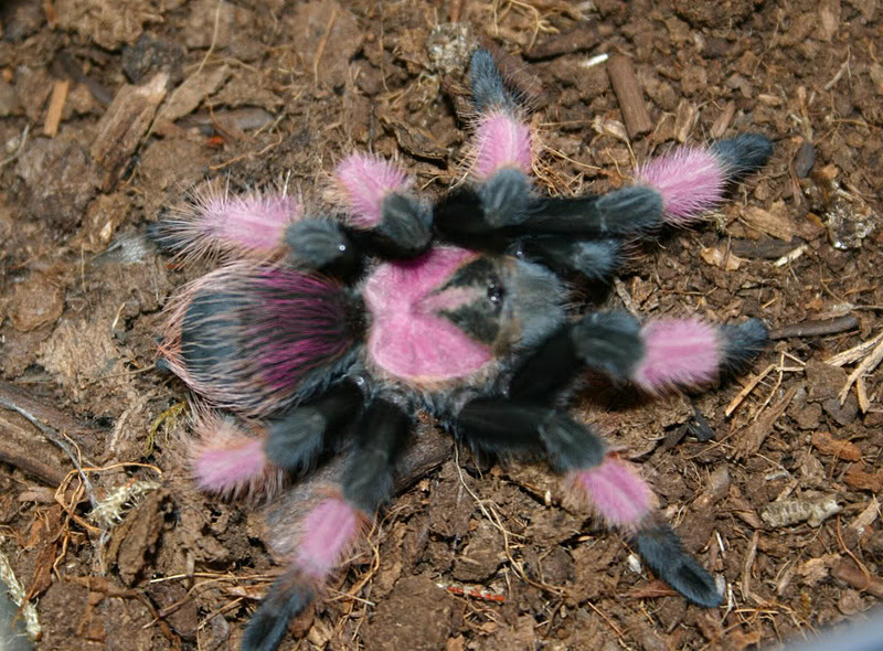 Mexican Pink Tarantula