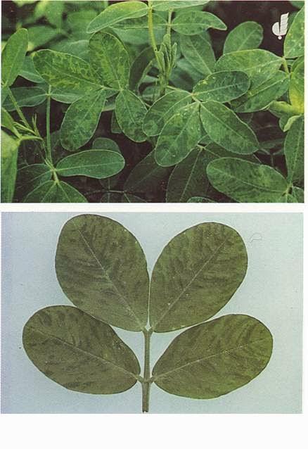 Penyakit Penting pada tanaman Kacang Tanah  Petani TOP