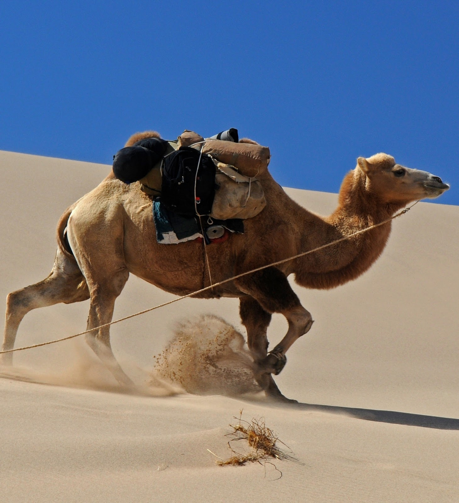 Picture of a camel walking on desert sand.