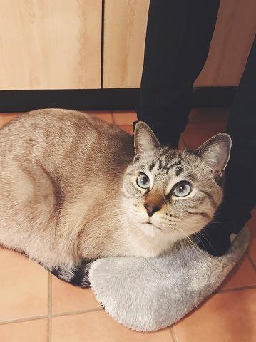 飼い主のスリッパの上に乗っかっているシャムトラ猫