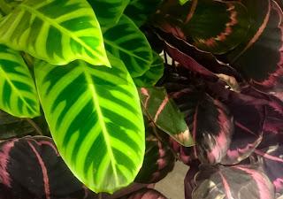 Grønn og rosa Calathea