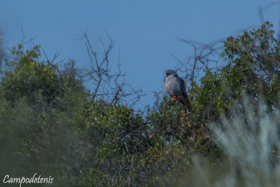 Falcó cama-roig (Falco vespertinus)