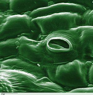 Gambar stomata yang terletak pada daun tumbuhan