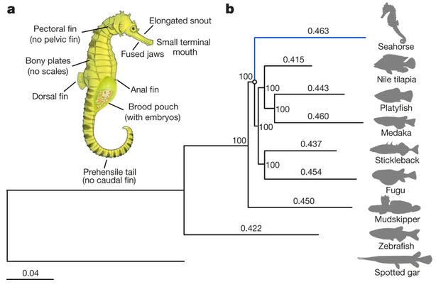 sandwalk  do seahorses evolve faster