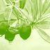 Σὲ διεθνὴ ζήτησι τὰ ἀποξηραμένα φύλλα ἐλιᾶς!