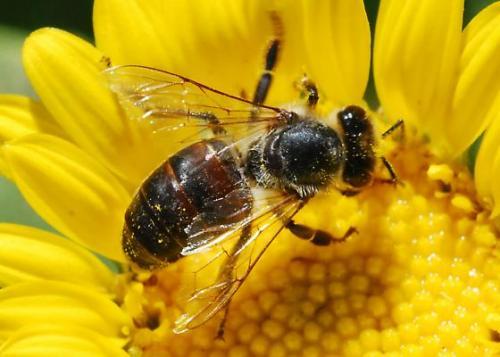 Στην κυψέλη εμφανίζονται μαύρες γυαλιστερές μέλισσες. Τι φταίει;