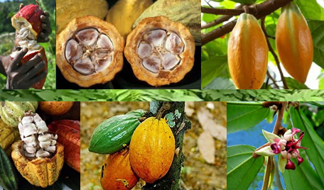 Cocoa beans are the principal ingredient of chocolate.