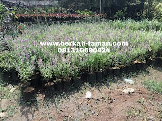 pohon lavender hias
