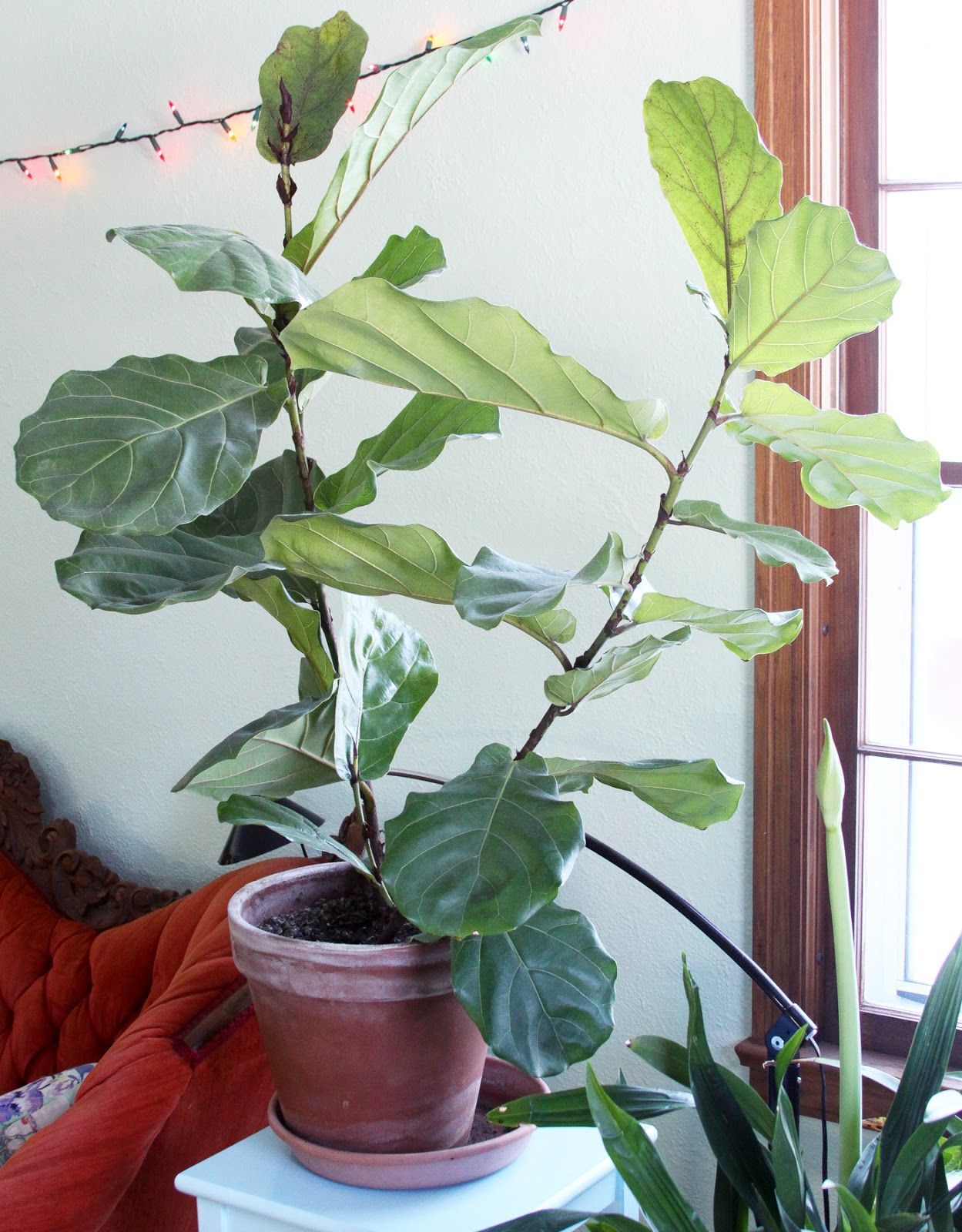 Houseplants Fiddle Leaf Fig Amaryllis Orchids Anne Butera My Giant Strawberry