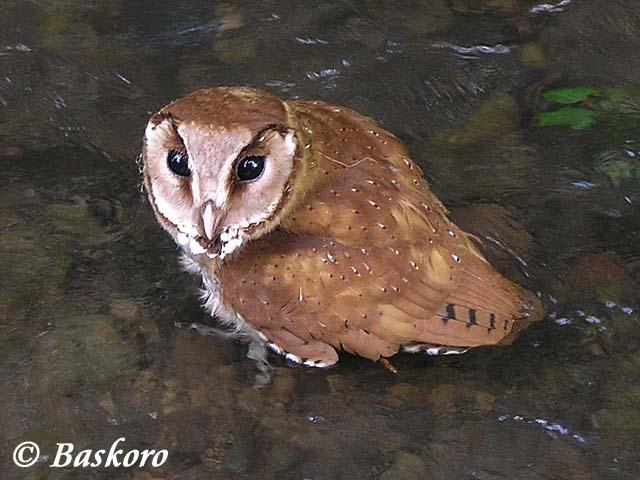 burung hantu berukuran sedang ini dikenal dengan nama  Mengenal Burung Hantu Serak Bukit atau Wowo-Wiwi