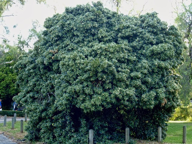 Itching To Identify Australian Hibiscus Relative
