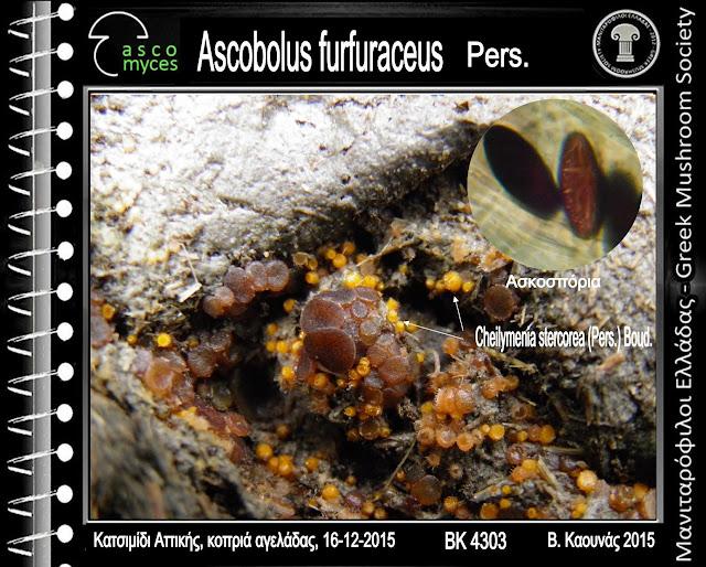 Ascobolus furfuraceus Pers.