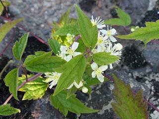 Clématite de Virginie - Clematis virginiana