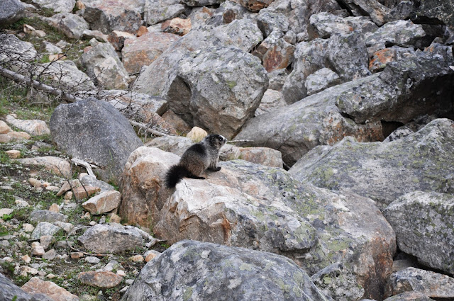 Marmot at Edith Cavell, Jasper National Park, Alberta, Canada