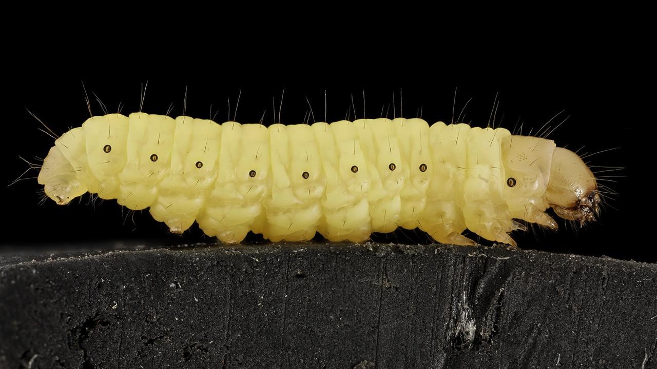 Investigadores descubren orugas que pueden comer bolsas de plástico