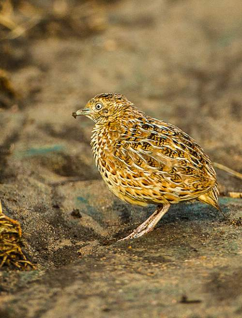 Indian birds - Common buttonquail - Turnix sylvaticus