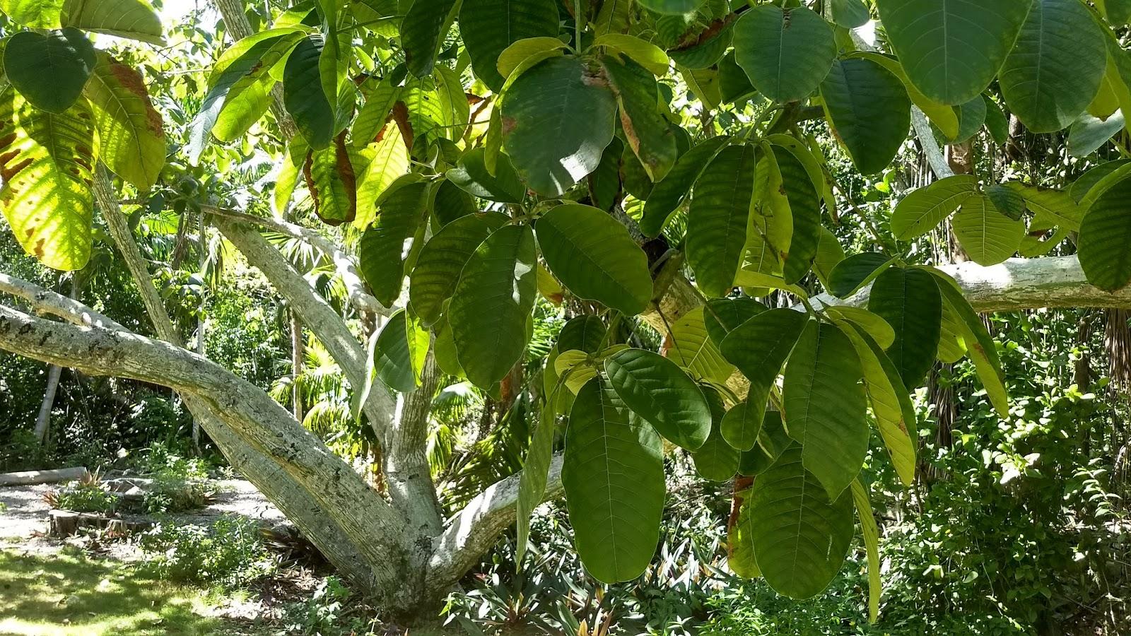 Trees Of The Bahamas