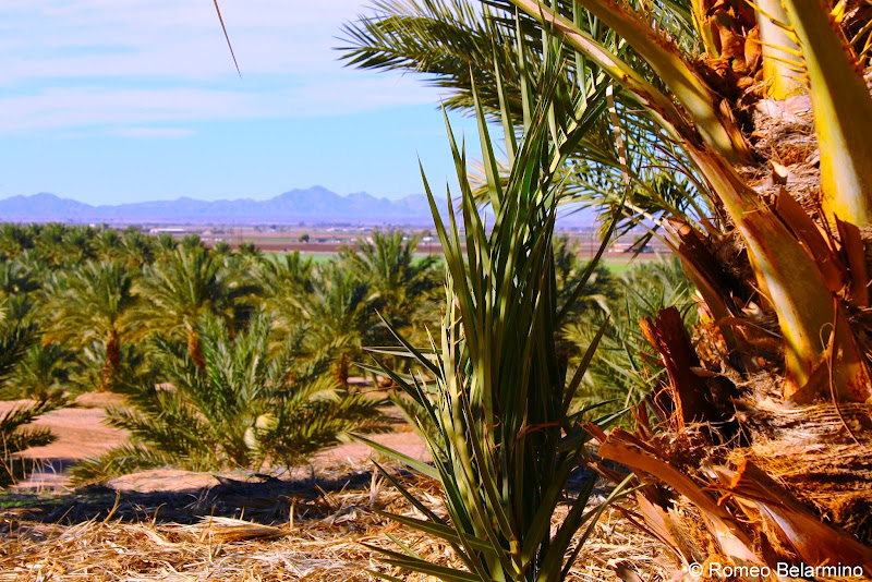 Medjool Date Palms and the Yuma Arizona Desert at Martha's Gardens Date Farm