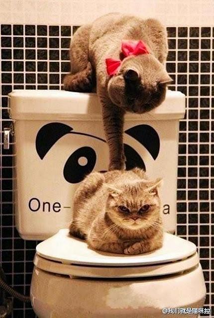 funny cats w.c pareja de gatos