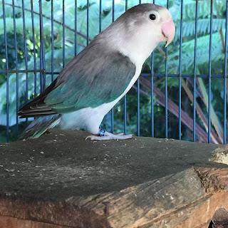 Cara Menghasilkan Lovebird Euwing Blue Series (Bs)