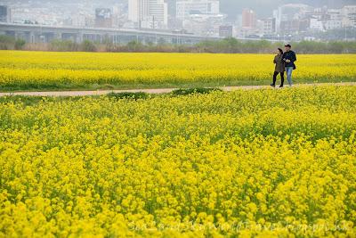 釜山大渚生態公園油菜花田
