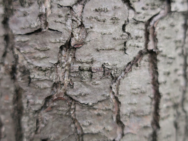 Bark of alder tree