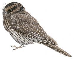 Aegotheles affinis