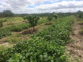 Técnicas de plantio e adubagem melhoram vida e renda de pequenos produtores na PB