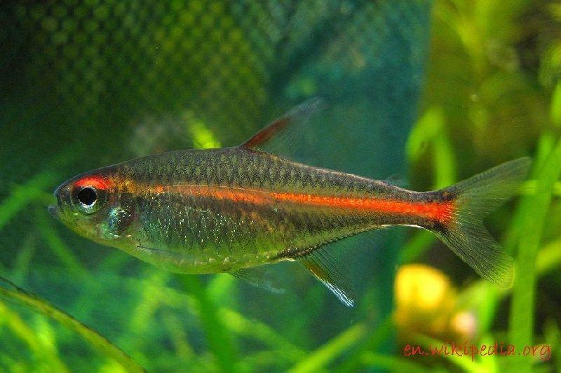 Ikan Aquascape yang Kuat - Gowligh Tetra