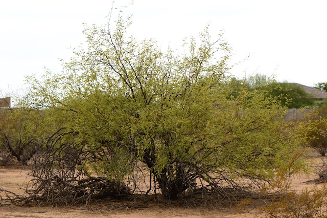 sonoran, desert, small sunny garden, amy myers, photography, mesquite