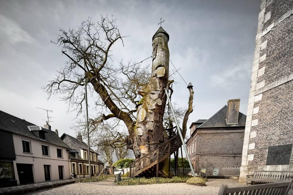 شجرة البلوط عمرها ألف عام