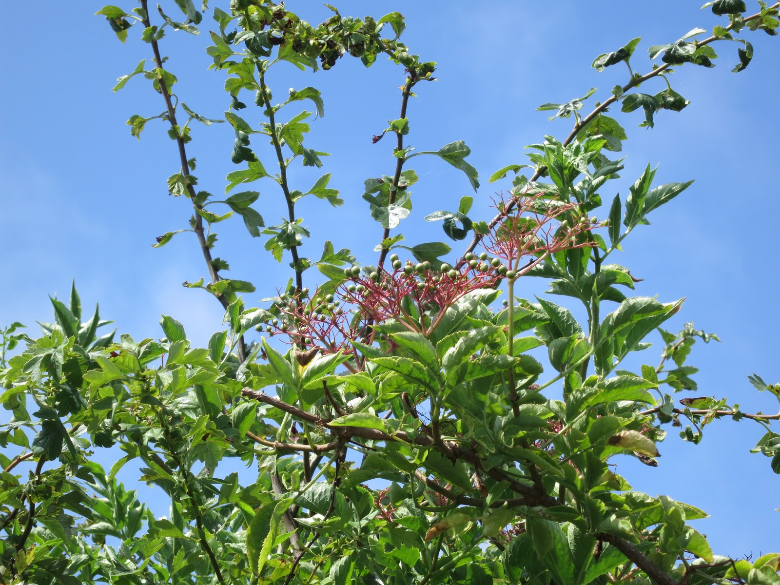 Unripe elder berries against a blue sky with hawthorn leaves