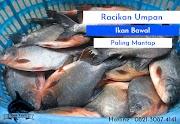 Racikan Umpan Ikan Bawal Paling Jitu