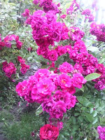 Trandafiri pentru dulceaţă