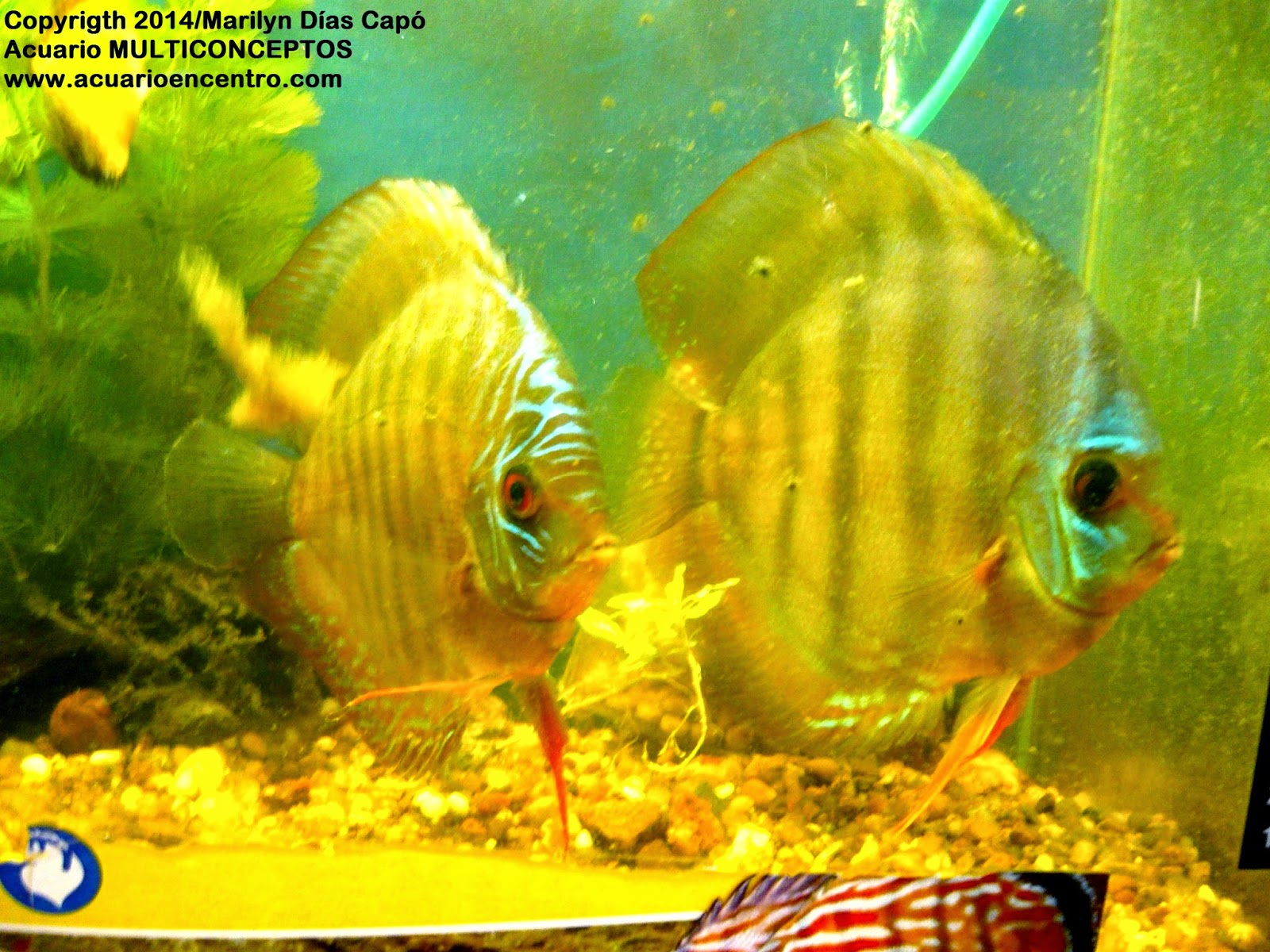 Peces tropicales de agua dulce 02 05 15 for Criadero de peces de colores