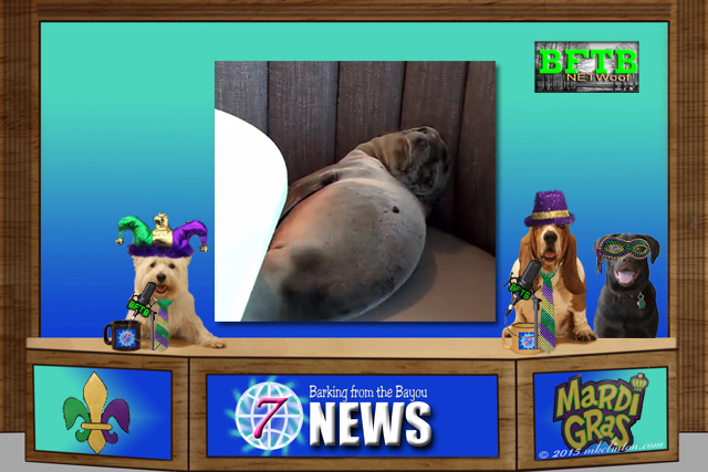 BFTB NETWoof News desk with three dogs in Mardi Gras costumes and a sea lion on the back screen.