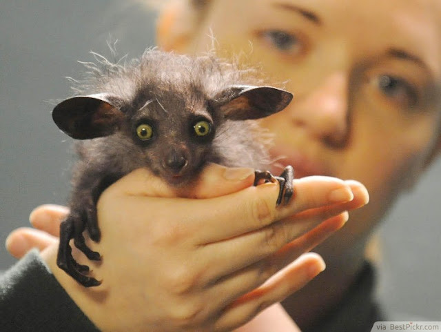 The Creepy Aye-Aye