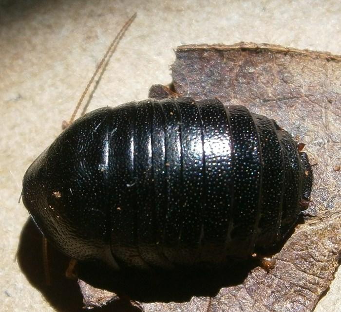 C.pygm%252325.JPG