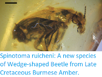 https://sciencythoughts.blogspot.com/2017/11/spinotoma-ruicheni-new-species-of-wedge.html