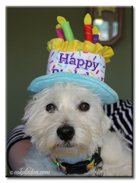 Westie wearing a birthday cake hat