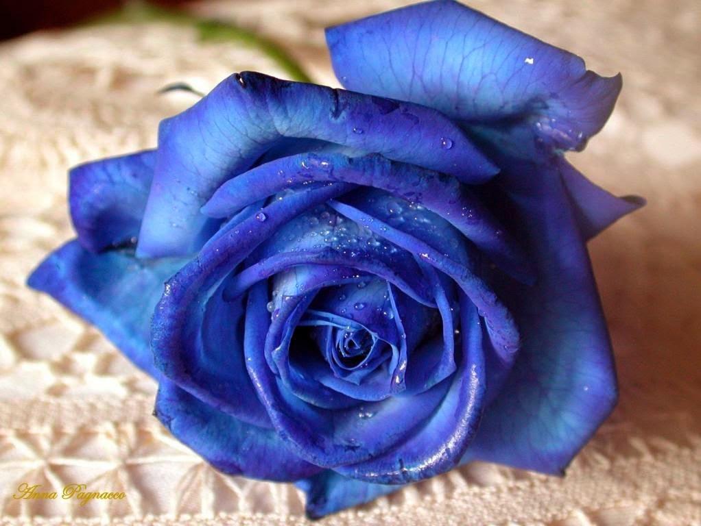 Hoa hồng đẹp nhất thế giới