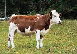 Cara Merawat anak sapi (pedet) Sejak Lahir Sampai Disapih ...