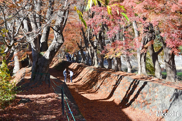 【日本。河口湖】紅葉回廊:觀賞紅葉和富士山的好地點! 7