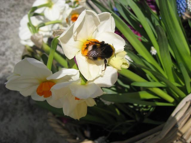 Tips til humlevennlige planter for hagen din - humlebesøk i en narsiss