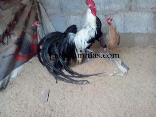 Ayam Phoenix Dewasa Sepasang