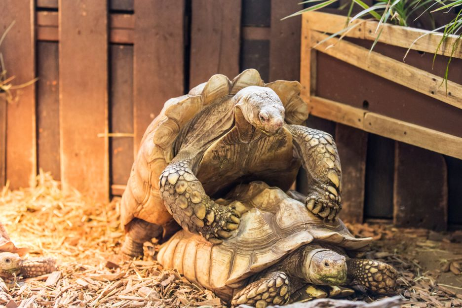 3. African Spurred Tortoise