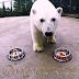 Ini Nika, Beruang Kutub Peramal di Piala Konfederasi 2017