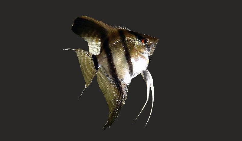 cara membedakan ikan manfish jantan dan betina